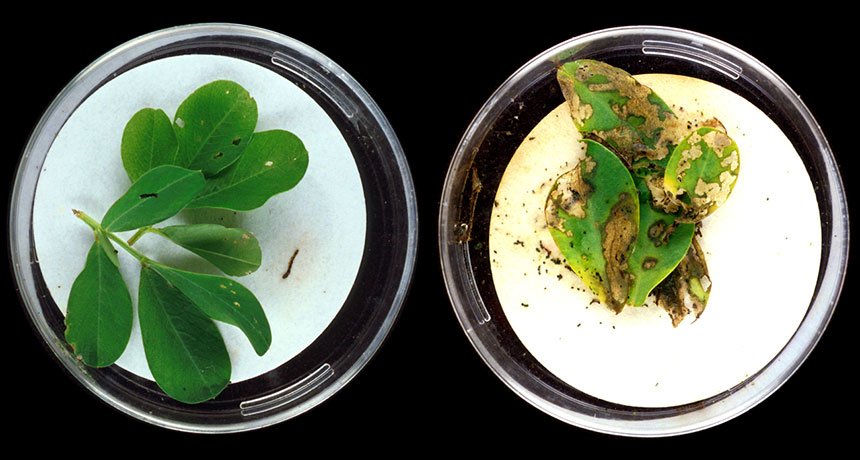 Bacterium still a major source of crop pesticide | Science News