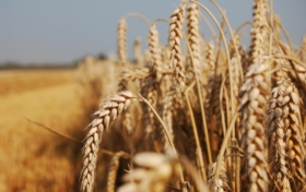 Devastating Wheat Fungus Appears in Asia for First Time – Scientific American